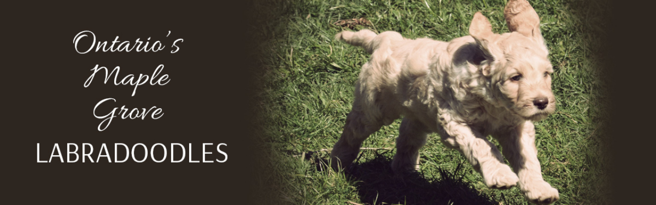 Australian Labradoodle Breeders in Ontario with Labradoodles for